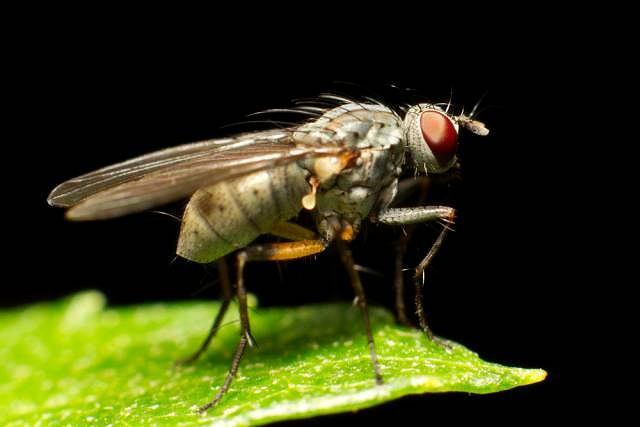 Niektóre gatunki muchówek mogą przenosić nicienie odpowiedzialne za rozwój filariozy