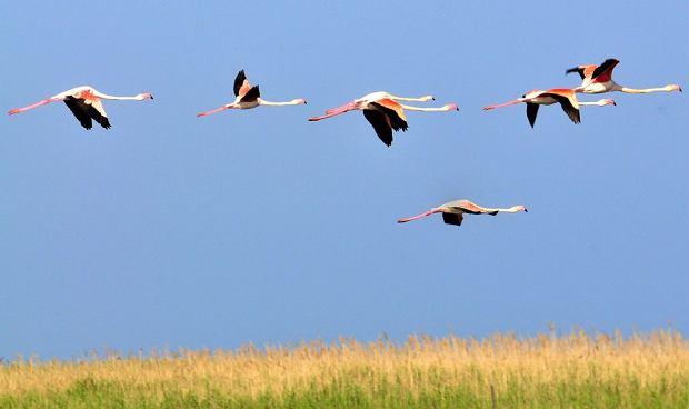 Flamingi w Camargue - Francja / flickr.com fot. Sonia Pauen