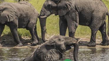 Słonie / zdjęcie ilustracyjne