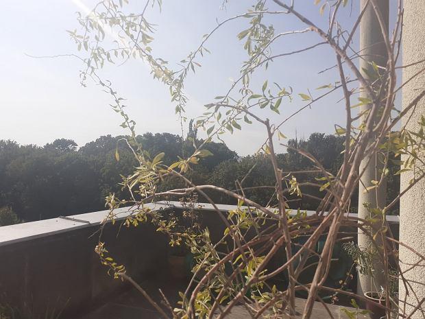 Rośliny na balkonie. To drzewko Goji hodowane w doniczce 10 lat ma widok na warszawskie ZOO.