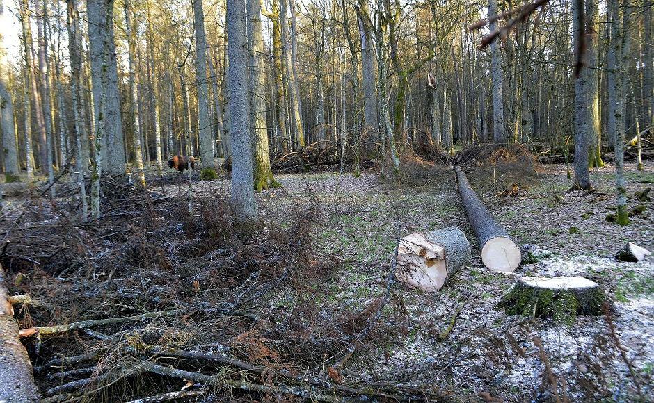 Puszcza Białowieska - minister Szyszko zapowiedział, że nie przerwie wycinki