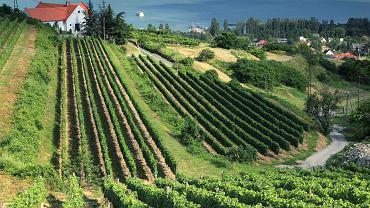 Winnica na Węgrzech / fot. Shutterstock