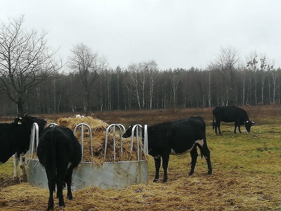Dzikie krowy z Deszczna mają nowy dom.