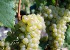 Riesling - wino od sąsiada
