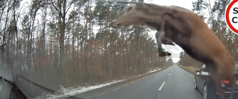 Niebezpieczna sytuacja na drodze. Na jezdnię wbiegło stado jeleni [WIDEO]