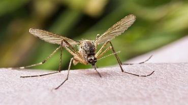 Wirus żółtej febry przenoszony jest głównie przez komary.