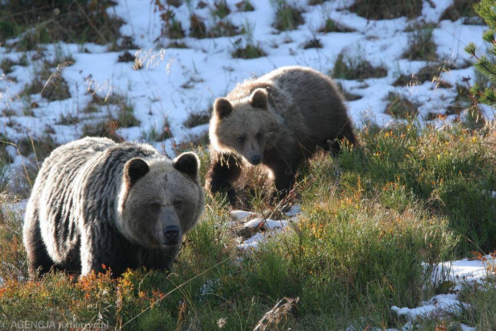 Niedźwiedzica z niedźwiadkiem, Tatry