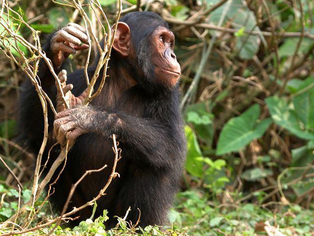 Szympans może zabić człowieka