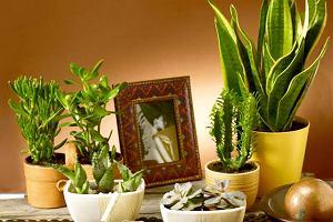 Aloes, agawa, sansewieria, grubosz. Kwiaty doniczkowe - zielonoskóre afrykanki
