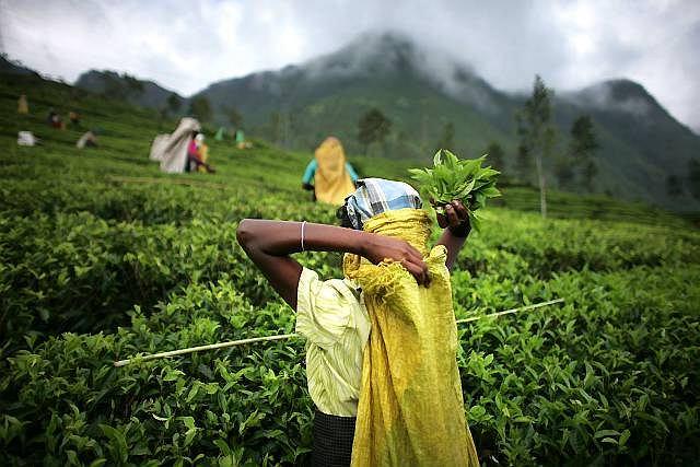 Uprawiane na Sri lance gatunki herbaty uważane są za jedne z najszlachetniejszych na świecie