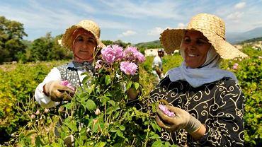 Zbiory róży stulistnej na plantacjach Chanel