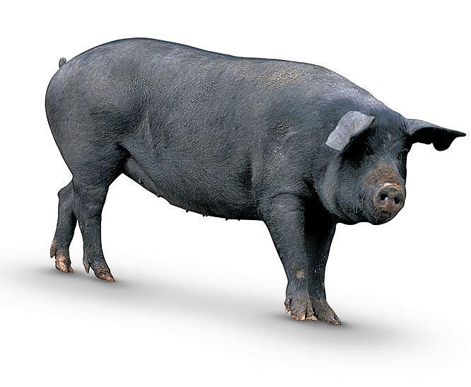 Zdjęcie numer 1 w galerii - Szynka - Pyszne świństwo