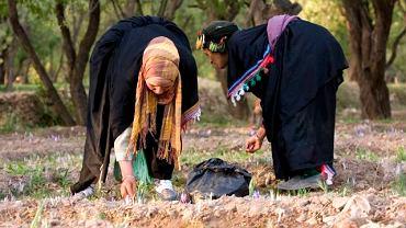 Maroko, region Taliouline. Kobiety w tradycyjnym stroju wyruszają na pole o świcie.