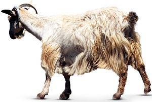 Koza kaszmirska