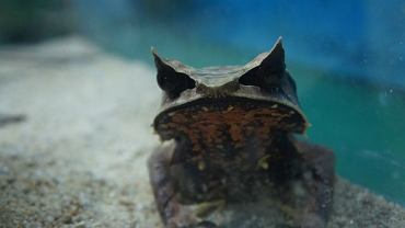 Zwierzęta dżungli świetnie się maskują - ta żaba udawała uschnięty liść na plaży