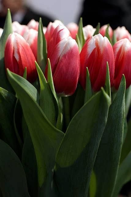 15 holenderskich tulipanów nosi imiona znanych Polaków. Są naprawdę piękne
