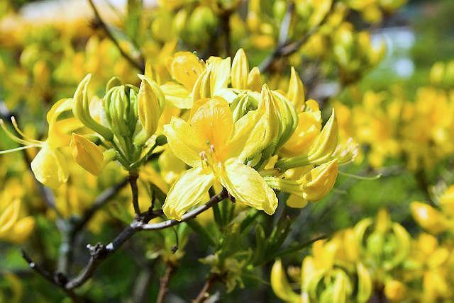 Azalia pontyjska dorasta do 1,5 m wysokości. W maju złoci się od licznych silnie pachnących kwiatów