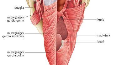 Mięśnie gardła. Ilustracja przedstawia perspektywę piersiową ściany mięśnia gardła (część prawa jest otwarta w celu pokazania wnętrza)