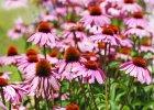 Jeżówka (Echinacea) na wzmocnienie odporności, a może na niegojące się rany. Jakie są właściwości lecznicze jeżówki?
