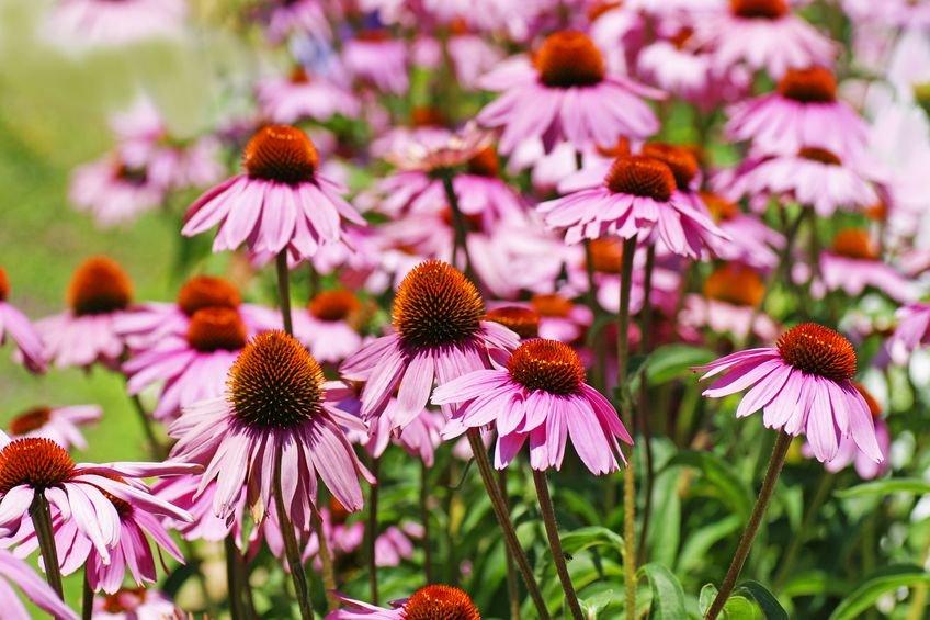 Echinacea, czyli jeżówka purpurowa jest składnikiem preparatów zwiększających odporność