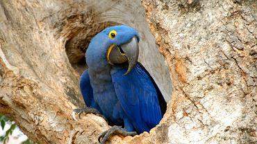 Pięknie ubarwiona ara błękitna występuje tylko w jednym miejscu na świecie - na wschodzie Brazylii / fot. Animal Planet