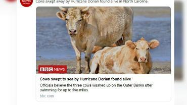 Krowy, które uważano za martwe, odnalazły się żywe