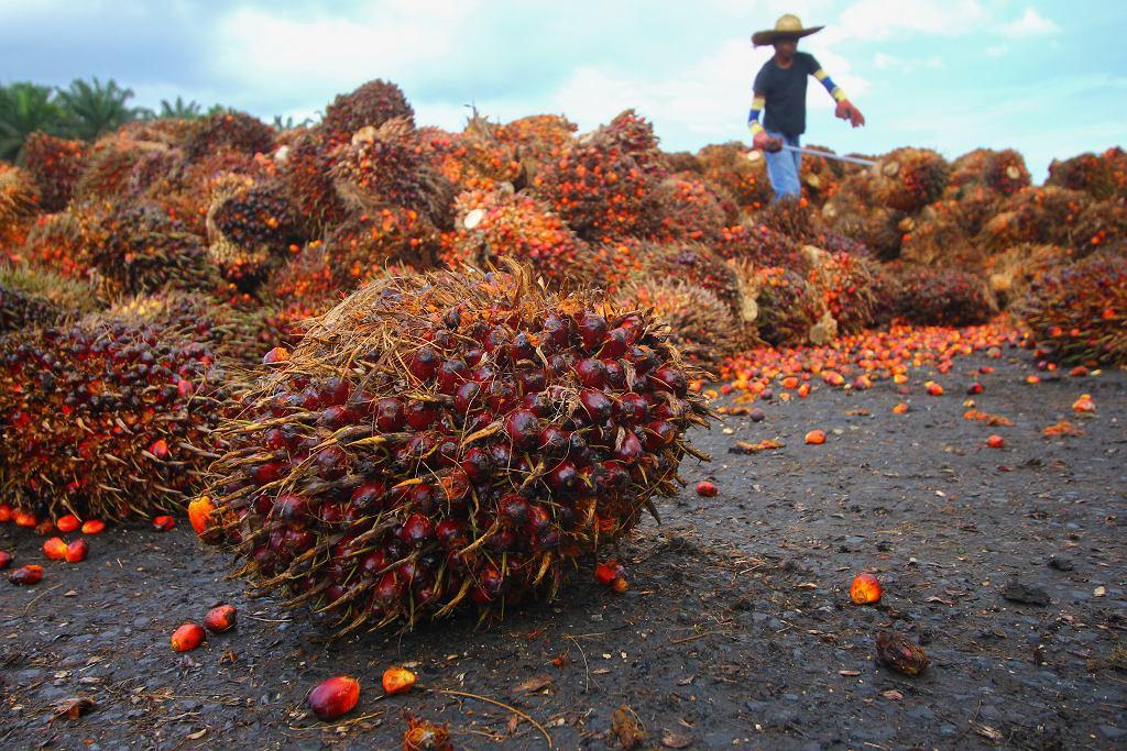 Olej palmowy jest substancją, którą pozyskuje się z miąższu palmy oleistej (olejowca gwinejskiego).