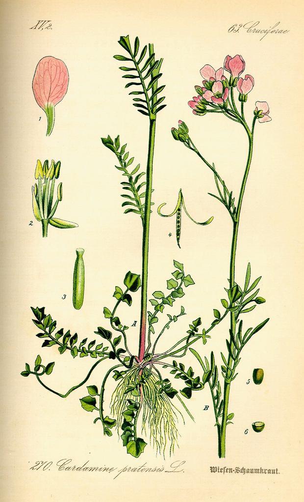 Rzeżucha łąkowa (Cardamine pratensis).