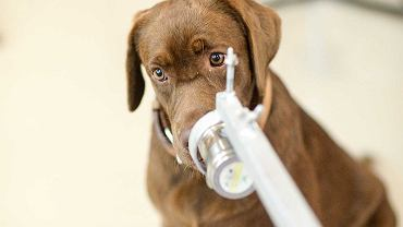 Labradory wykrywają wirusa z 95-procentową skutecznością