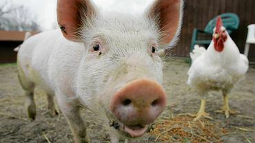 Świnka Anastazja na farmie w Ravennie