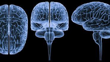 Pień mózgu jest to składowa ośrodkowego układu nerwowego, zlokalizowana u podstaw czaszki