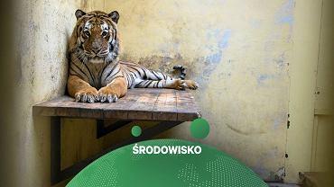 Jeden z uratowanych tygrysów w zoo w Poznaniu.