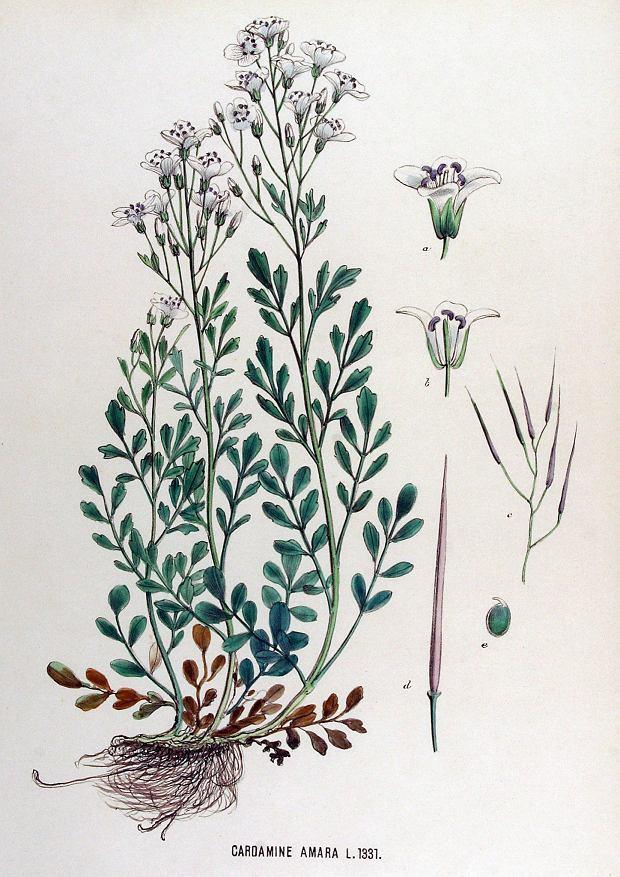 Rzeżucha gorzka (Cardamine amara).