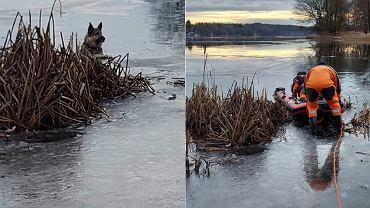 Czaplinek. Owczarek niemiecki łapami trzymał się lodu. Uratowali go strażacy