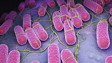Podgatunki i szczepy salmonelli odznaczają się różną zjadliwością
