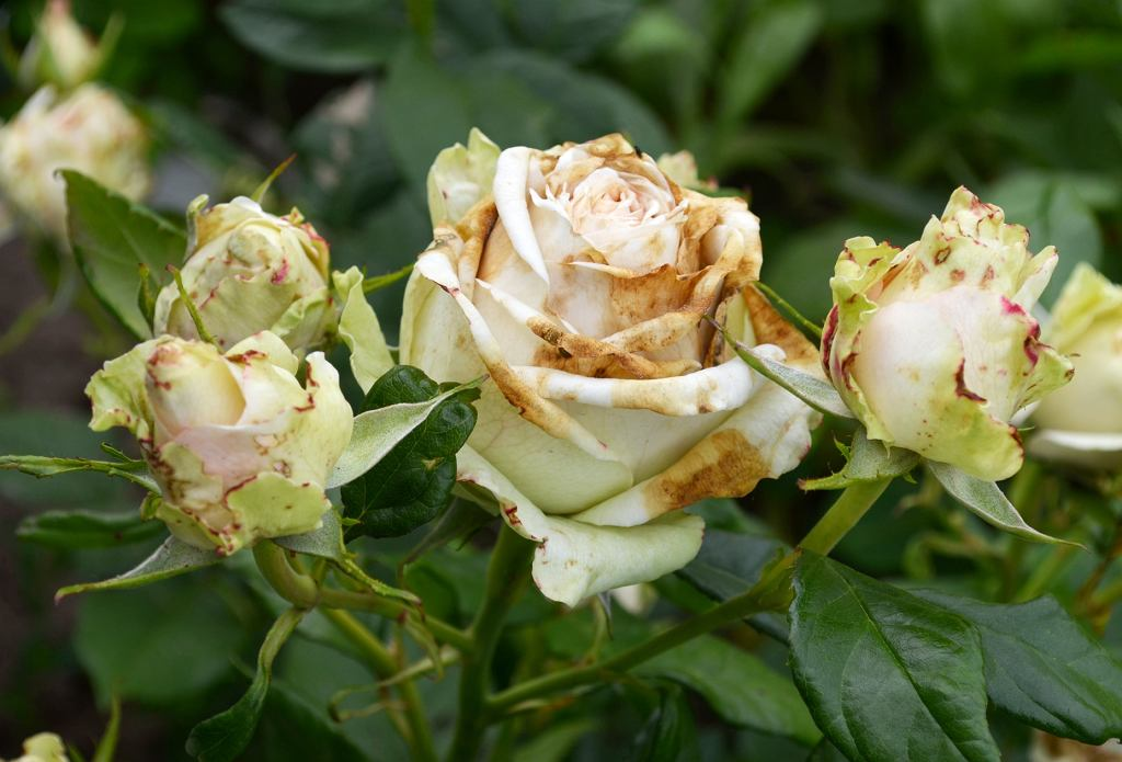 choroba róż - szara pleśń