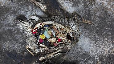 Plastikowe śmieci w żołądku martwego albatrosa...