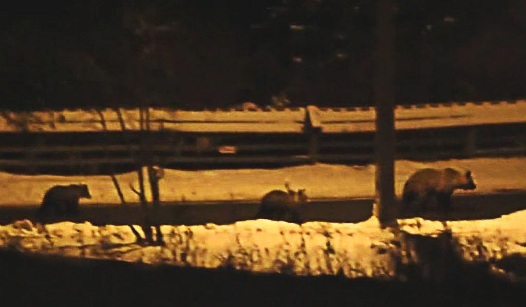 Niedźwiedzia rodzina w Zakopanem