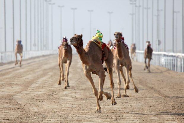 Wyścig wielbłądów z dżokejami robotami/ Fot. Shutterstock