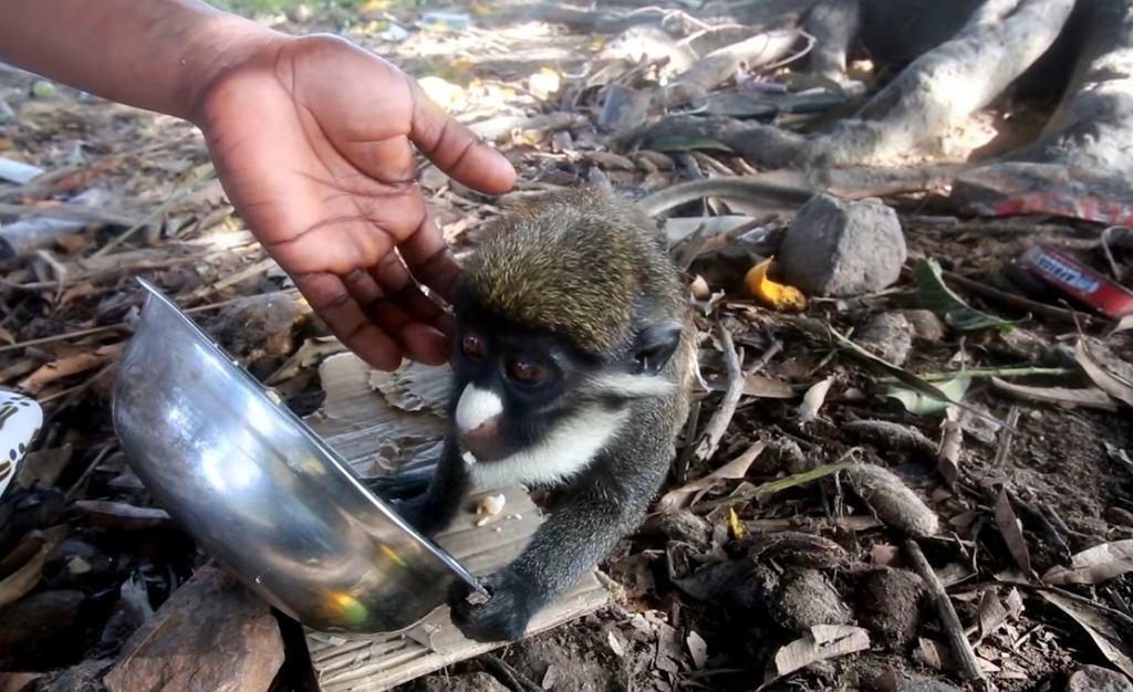 Uprawa kakao w Wybrzeżu Kości Słoniowej na wypalonym lesie tropikalnym