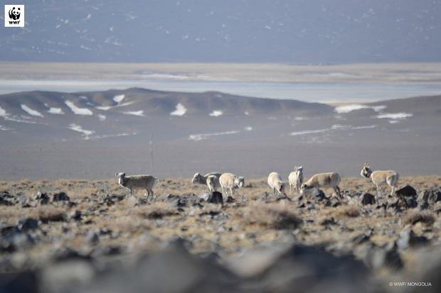 Suhaki chodzą po świecie od plejstocenu. Pamiętają neandertalczyków i kromaniończyków (fot: WWF Mongolia)