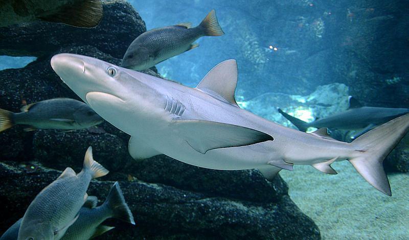 W osobnym zbiorniku o pojemności 60 tys. litrów znajdą się rekiny. Na zdjęciu żarłacz czarnopłetwy