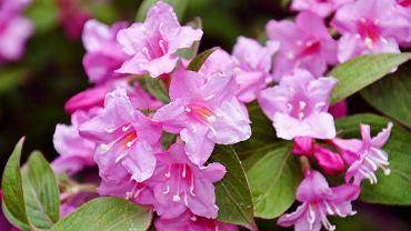 Krzewuszka kwitnie nawet dwa razy w jednym roku. Zdjęcie ilustracyjne