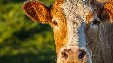 Genetycznie zmodyfikowane krowy wytwarzają ludzkie przeciwciała, które neutralizują koronawirusa
