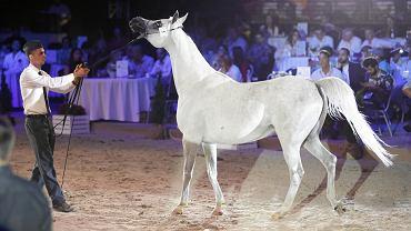 Janów Podlaski. Aukcja koni Pride of Poland. Klacz Galerida sprzedana za 400 tys. euro