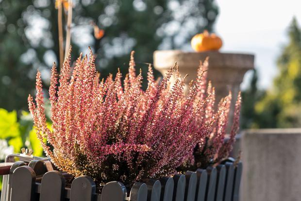 Wrzosy na balkonie - pielęgnacja, zimowanie, z czym łączyć. Te kwiaty to piękna ozdoba na jesień!