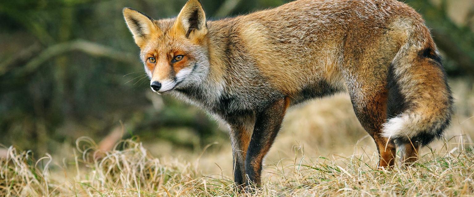 Lis pospolity jest jednym z gatunków zagrożonych wyginięciem (fot. Shutterstock)