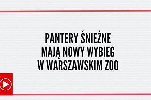 """Pantery śnieżne ponownie w warszawskim zoo. """"Najpiękniejszy i najnowocześniejszy wybieg w Europie"""""""