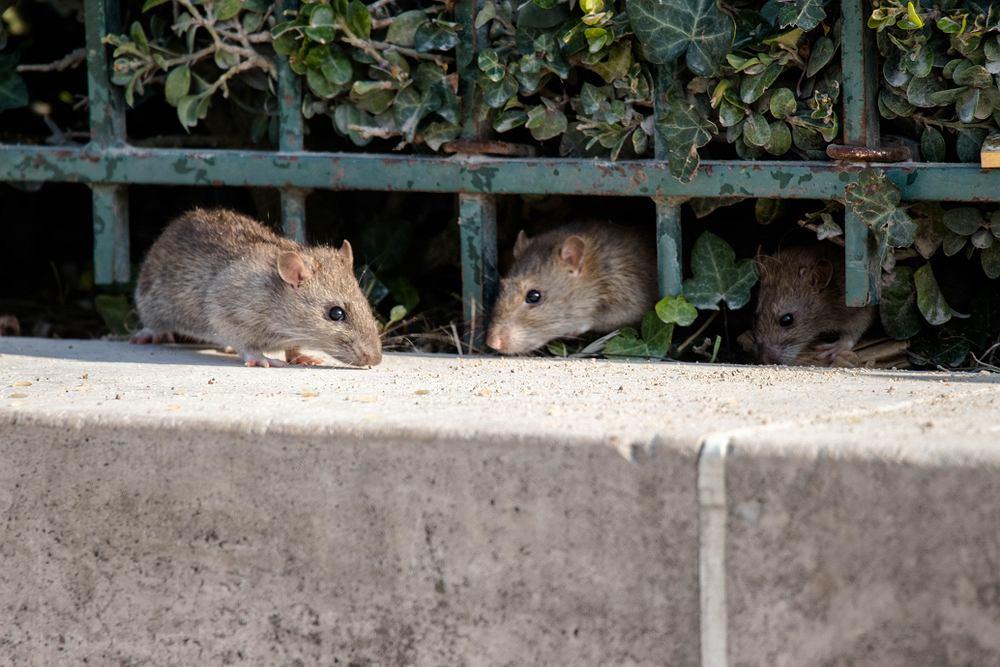 Szczury przenoszą wiele zakaźnych chorób,min.tyfus plamiasty