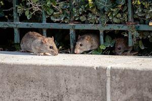 Choroby przenoszone przez gryzonie - na jakie schorzenia jesteśmy narażeni przez szczury?